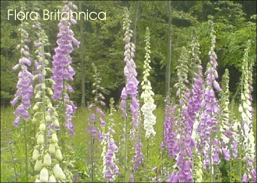 24 Foxglove Wild Flower Postcards