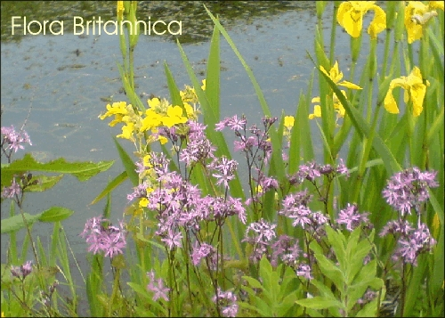 24 Wetland Wild Flower Postcards