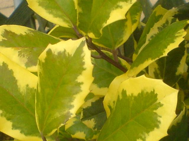 Ilex x altaclerensis 'Golden King'