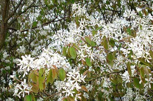 amelanchier lamarckii roceco ecological products buy online uk. Black Bedroom Furniture Sets. Home Design Ideas