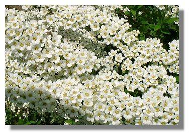 Spiraea arguta roceco ecological products buy online uk spiraea arguta mightylinksfo