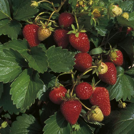 Strawberry F1 Sarian Seeds