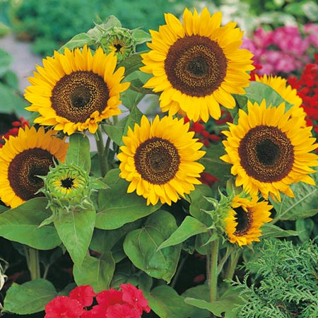 Fun to Grow - 'How to' Pots - Sunflower