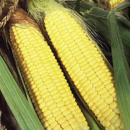 Sweet Corn F1 Sundance Seeds