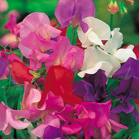 Sweet Peas From Yesteryear (Eden Project range)