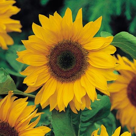 Big Tall Sunflower Eden Project Range Roceco