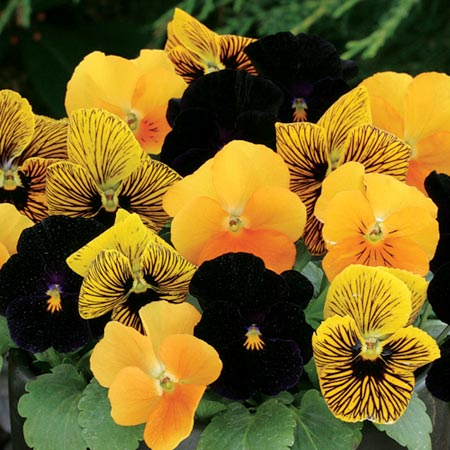 Viola F1 Pumpkin Pie Seeds