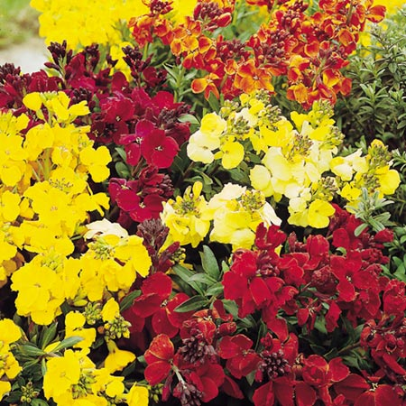 Wallflower Spring Scent Mix Seeds